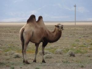 kasachstan-kamel