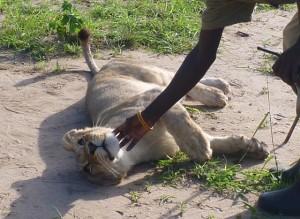 Zahme Löwen
