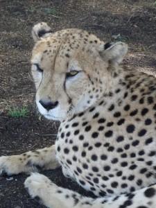 Cheetah Knuddeln