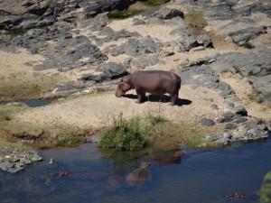 Hippo krüger Nationalpark Reiseblog von Autorin Beatrice Sonntag