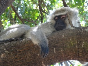 Affe krüger Nationalpark Reiseblog von Autorin Beatrice Sonntag