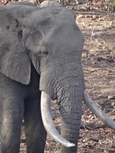 Elefant krüger Nationalpark Reiseblog von Autorin Beatrice Sonntag