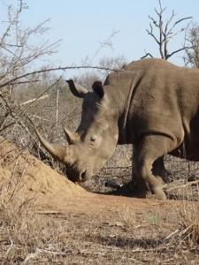 Rhino swasiland Reiseblog von Autorin Beatrice Sonntag