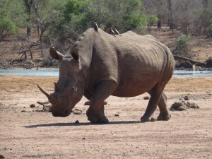 Nashorn swasiland Reiseblog von Autorin Beatrice Sonntag