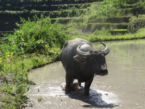 Batad, Wasserbüffel