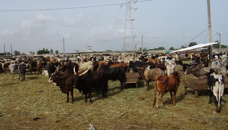 Viehmarkt in Abidjan