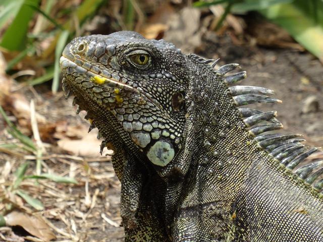 Quayaquil Iguana Park