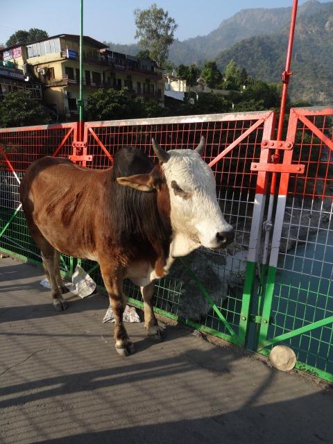 Kuh in Rishikesh