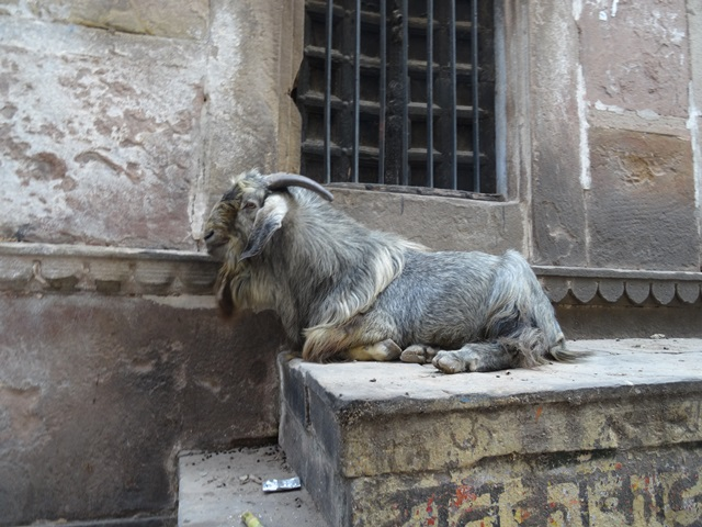 Ziege in Varanasi
